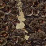 murcielagos cueva de la ramera